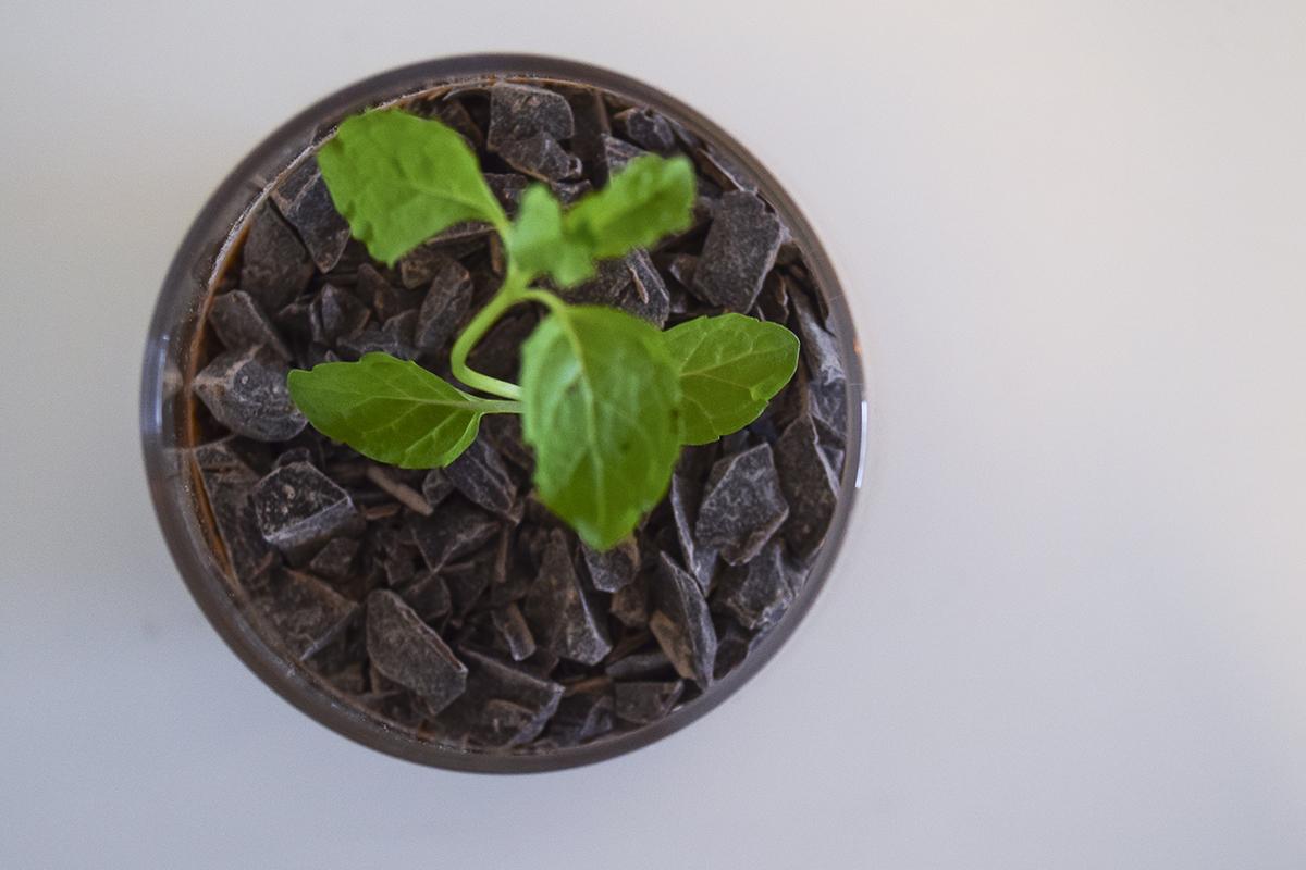 chokolademousse-som-plante-4